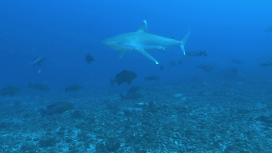 Motane, Silver tip reef shark coming through out a big red snappers school