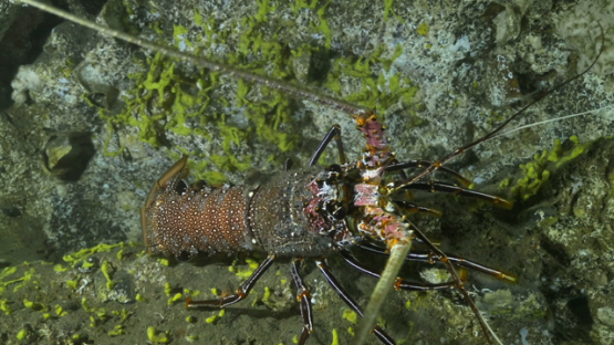 Tahuata, Lobster moving  under a cave