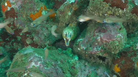 Hiva Oa, endemic dragon eel surrounded of apogons fishes
