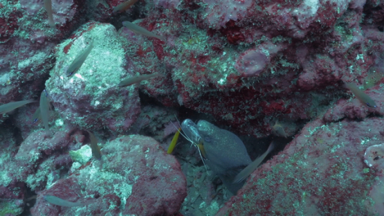 Tahuata, symbiosis, shrimp cleaning a moray eel in the rocks