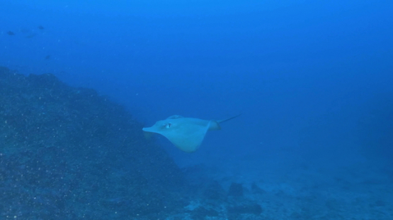Tahuata, sting ray swimming along the rocky reef