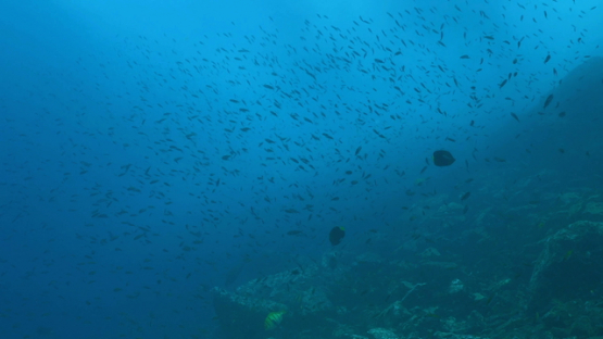 Tahuata, swarm of anthias along the cliff and three blue jack fishes