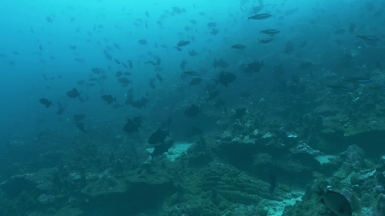 Tahuata, swarm of black trigger fishes, surgeons fishes, and fusiliers undersea