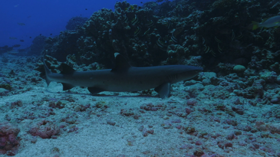 Fakarava, white tip lagoon shark on the bottom of the pass