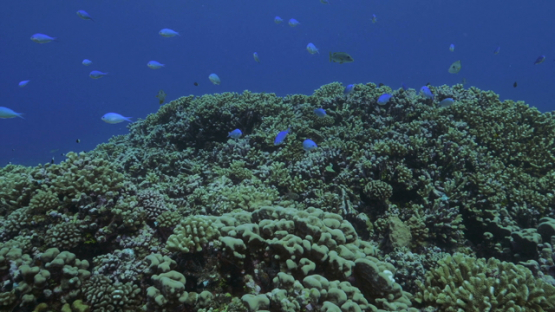Fakarava, drifting over the coral garden in the pass
