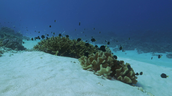Fakarava, damsel fishes gathering on coral formation