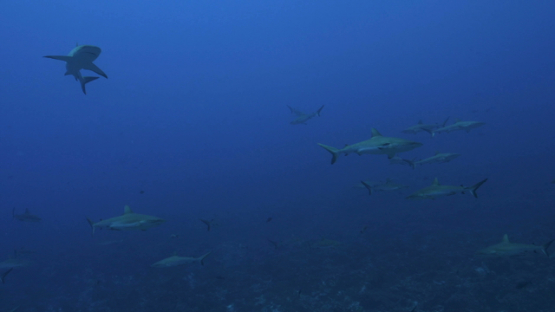 Fakarava, school of grey sharks swimming in the pass Tetamanu
