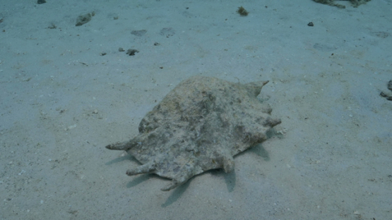 Moorea , lambis truncata or giant spider conch laid on the white sand