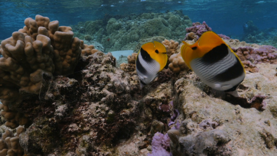 Moorea, two butterfly fishes over corals in the  lagoon under the surface