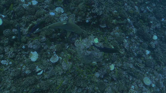 Moorea, black tip sharks over the coral reef bleaching