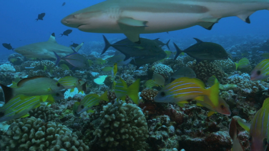 Moorea, tropical fishes and black tip sharks over the coral reef