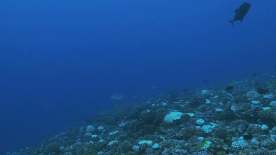 Moorea, lemon shark swimming over the coral bleaching
