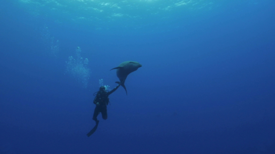 Rangiroa, scuba diver touching a dolphin tursiops coming close to camera
