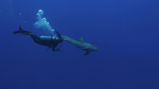 Rangiroa, dolphins tursiops swimming near the scuba diver in the blue and touched