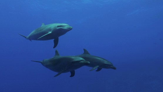 Rangiroa, dolphins tursiops swimming near the scuba divers in the blue