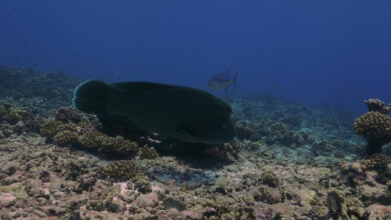 Rangiroa, Napoleon wrasse and big trevally jack fish over the coral reef