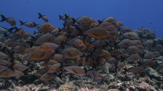 Rangiroa,red paddle tail snappers schooling over the reef