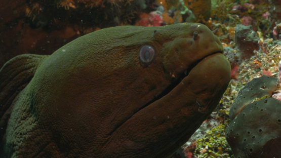 Rangiroa, giant moray eel in the coral reef