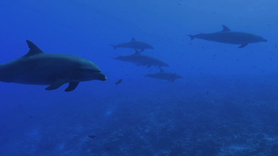 Rangiroa, family of six dolphins tursiops swimming close to the camera, 4K UHD