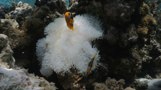 Moorea, couple of clown fishes and sea anenomee become white by heat