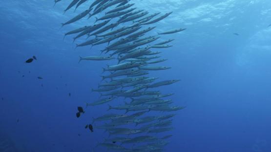 Rangiroa, big eye barracudas schooling along the reef