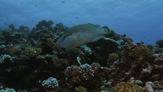 Rangiroa, juvenile Napoleon wrasse swimming along the coral reef