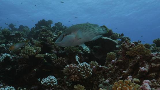 Rangiroa, juvenile Napoleon wrasse swimming along the coral reef