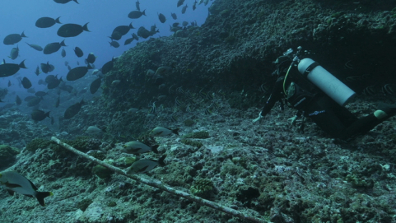 Rangiroa, scuba diver watching a chool of green surgeon fishes in the canyon of Tiputa pass
