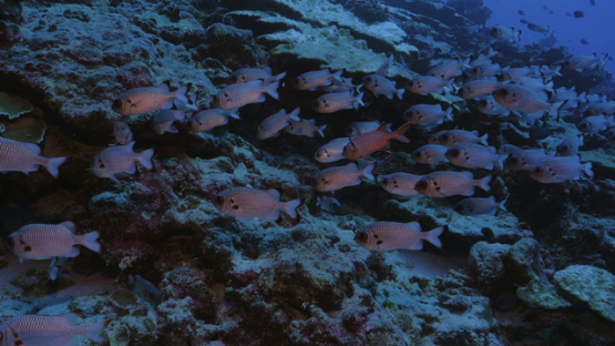 Rangiroa, group of soldier fishes along the reef