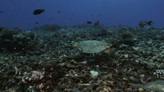 Rangiroa, hawksbill turtle swimming over the damaged coral reef