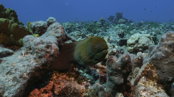 Rangiroa, giant moray eel in  the coral reef and cleaner wrasse
