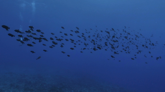 Rangiroa, blue trigger fishes schooling over the reef