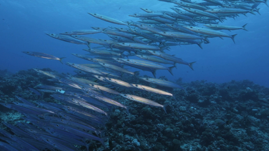 Rangiroa, big eye barracudas schooling along the reef