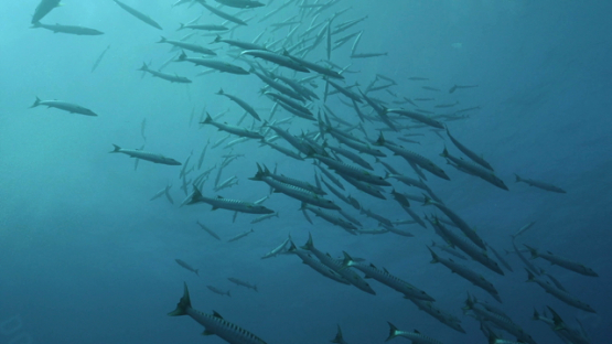 Rangiroa, barracudas schooling along the reef