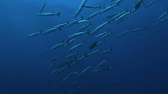 Rangiroa, barracudas schooling along the reef