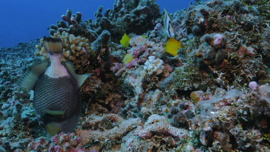 Rangiroa, titan trigger fish and butterfly fishes in the coral garden