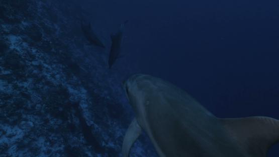 Rangiroa, four tursiops dolphins swimming close to camera, 4K UHD