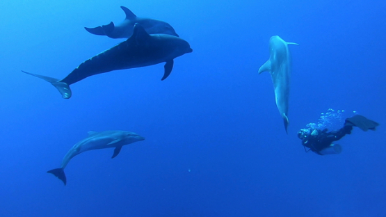 Rangiroa, group of bottle nose dolphins swimming close to scuba divers