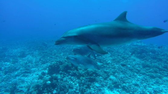 Rangiroa, hand of cameraman touching one of three bottle nose dolphins swimming close to camera