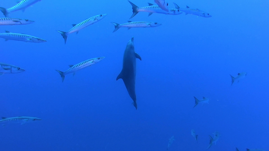 Rangiroa, single bottle nose dolphin among a big school of baraccudas