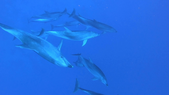 Rangiroa, ten bottle nose dolphins swimming close to camera