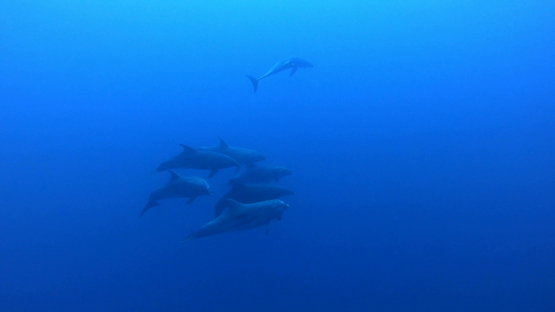 Rangiroa, seven dolphins tursiops swimming towards the camera in the deep blue