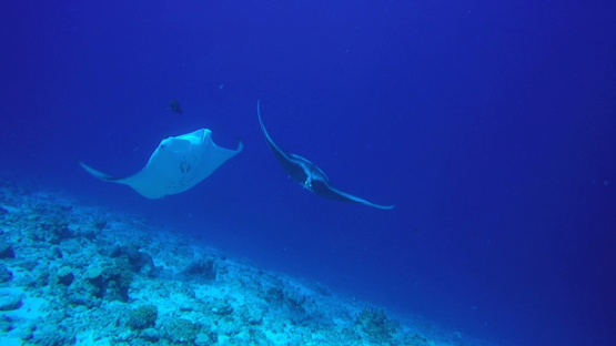Rangiroa, One of two  manta rays swimming the camera