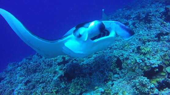 Rangiroa, Manta ray swimming towards the camera over the reef, opened mouth