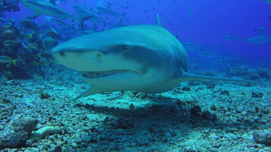 Tahiti, Lemon shark swimming towards the camera during grey sharks feeding