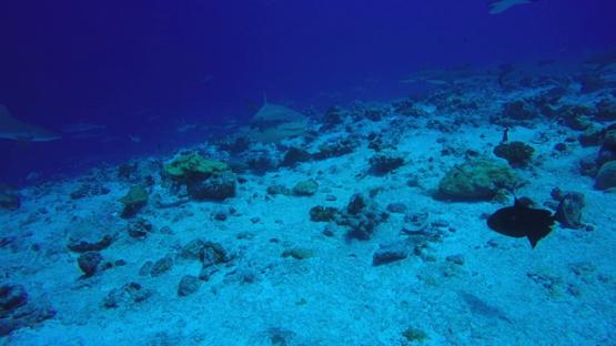 Rangiroa, Single lemon shark and grey sharks schooling over the reef