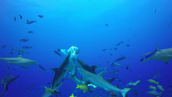 Tahiti, grey sharks feeding and frenzy, swimming up together
