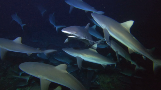 Fakarava, Frenzy of grey sharks hunting at night over the reef