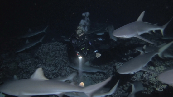 Fakarava, scuba diver in the middle of huge group of grey sharks hunting at night over the reef