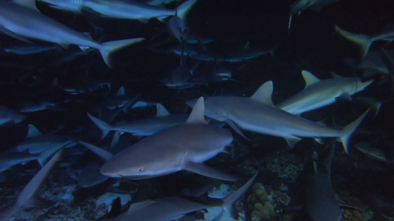 Fakarava, group of grey sharks at night over the reef